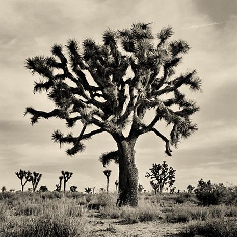 joshua_tree